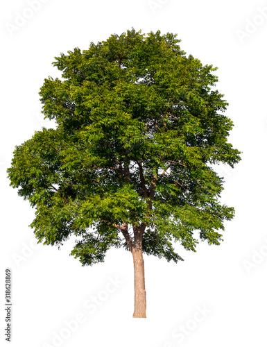 isolated tree on white background Fototapeta