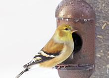 Yellow Finch Perched On Seed F...