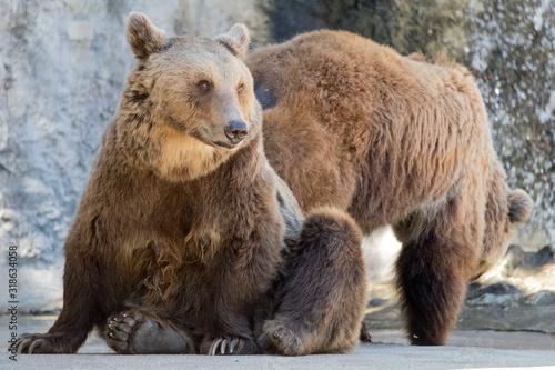 Billede på lærred Close-Up Of Bear Sitting Outdoors