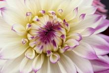 Cream Yellow And Lavender Dahlia Flower From Garden.