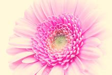 Closeup Of A Pink Gerbera Daisy