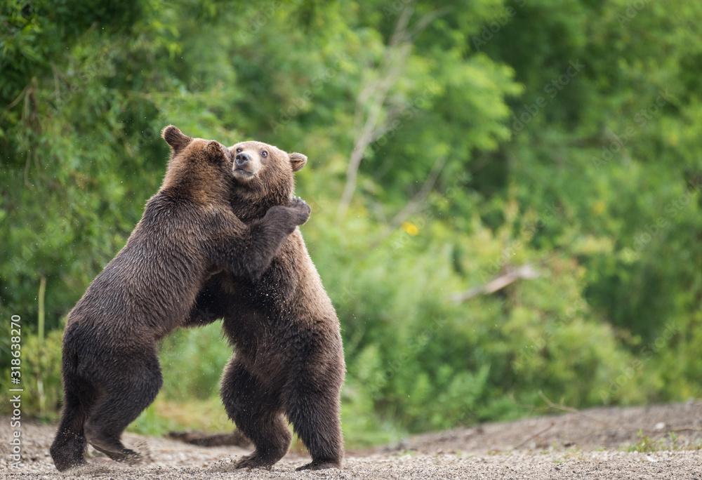 Fototapeta bears embracing against Trees