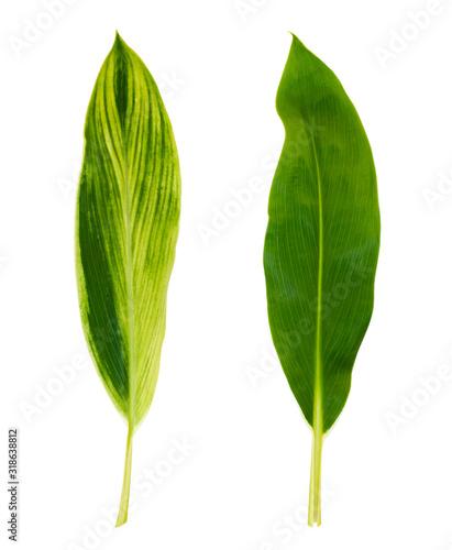 Alpinia zerumbet green leaf top view Canvas Print