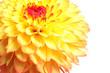 Leinwanddruck Bild - Beautiful yellow dahlia flower on white background, closeup view