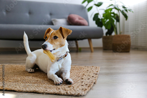 Cute four months old Jack Russel terrier puppy with folded ears at home. Small adorable doggy with funny fur stains. Close up, copy space, background.