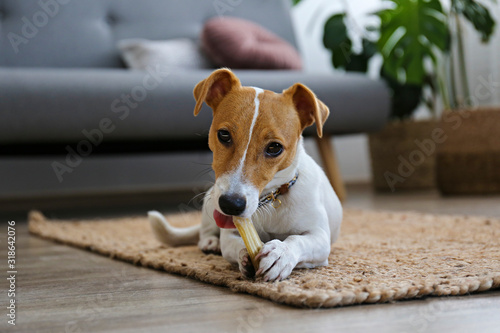 Obraz Cute four months old Jack Russel terrier puppy with folded ears at home. Small adorable doggy with funny fur stains. Close up, copy space, background. - fototapety do salonu