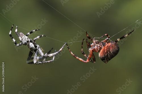 Billede på lærred CLOSE-UP OF SPIDER ON WEB