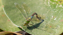 Giant Dragonfly With Large Wings On A Green Leaf