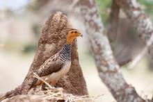 African Bird: Coqui Francolin ...
