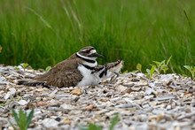 Killdeer Or Charadrius Vociferus On Nest With Young On A Cloudy Cold Day. It Is A Large Plover Found In The Americas. Its Common Name Comes From Its Often-heard Call.
