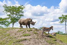 A Large Rhinoceros Stands With Several Zebras On A Hill In A Zoo In Emmen, Netherlands