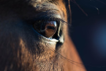 Brown Horse Eye Close-up. Long...