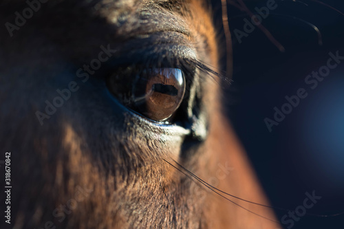 Fototapeta Brown horse eye close-up. Long dark eyelashes. Falling sunlight passes through the pupil. Dark background obraz