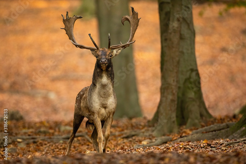 Fototapety, obrazy: Fallow deer, dama dama, stag with big antlers looking into camera in autumnal forest with trees behind and space for copy. Attentive wild animal in nature.