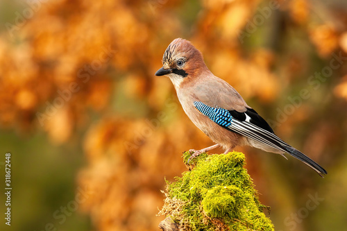 Horizontal composition of Eurasian jay, garrulus glandarius, sitting on moss covered trunk in autumn forest with blurred orange leafs in background and copy space Fototapet