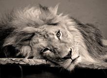 Male Lion: Highly Distinctive,...