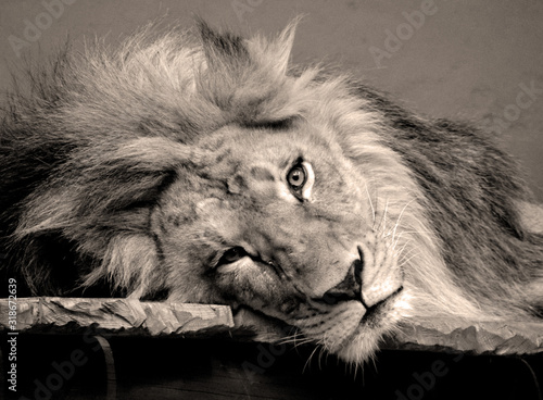 samiec-lwa-bardzo-charakterystyczny
