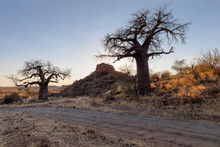 Baobab Trees And Kopje In Mapu...