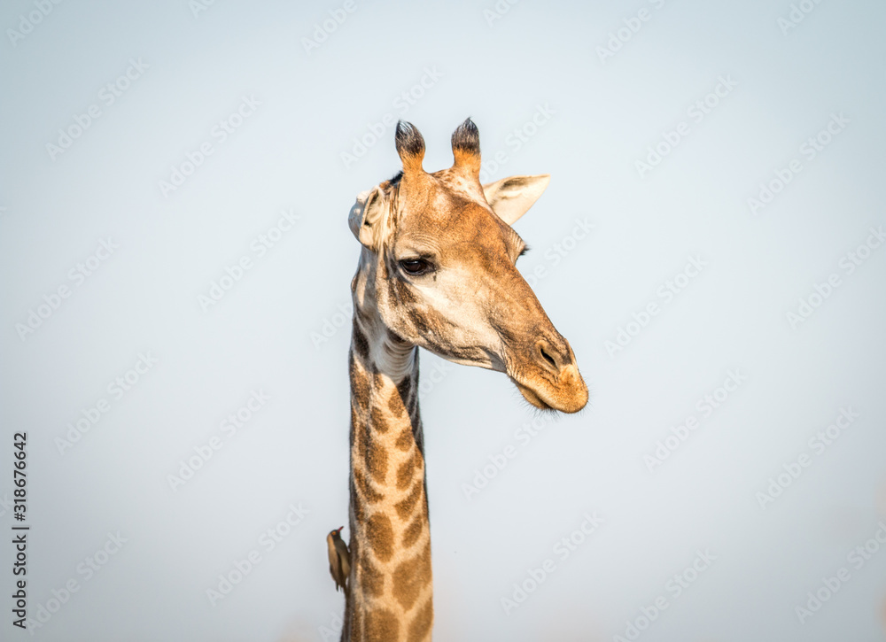 Fototapeta low angle view Of Giraffe against clear sky