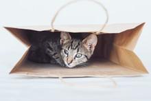 Young European Shorthair Cat P...