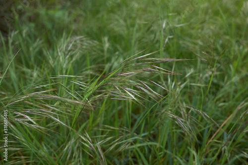 Bromus sterilis Canvas-taulu