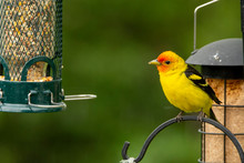 Male Western Tanager Perched O...