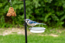 Blue Jay At Drinking Watering ...