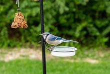 Blue Jay At Drinking Watering Bowl Bird Bath