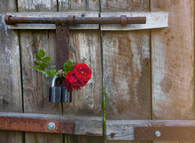 Roses And Padlock On Wooden Gate Background