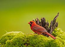 A Red Cardinal Bird Against A ...