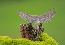 Mockingbird Flying With His Wings Spread.