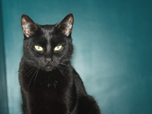 Magnifique Chat Noir , Au Regard Félin ,portrait