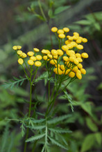 Yellow Tansy Flowers (Tanacetu...
