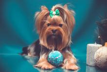 Yorkshire Terrier Portrait On ...