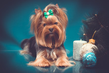 Yorkshire Terrier Portrait On ...
