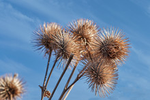 A Bouquet Of Thistles In Front...
