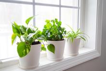Indoor Plants In White Pots, Ivy And Epipremnum On Window