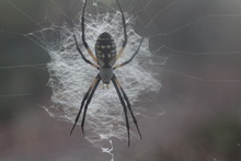 Black And Yellow Argiope Spide...
