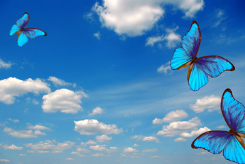 Fototapeta Eko bright butterflies flying in the blue sky with clouds. flying blue butterflies. colorful morpho butterflies. copy spaces