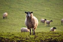 Masham Ewe Hornless Sheep On F...