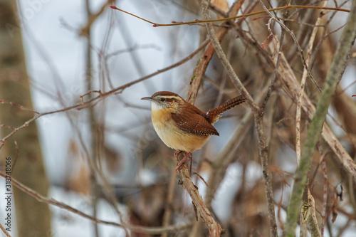 Valokuvatapetti Carolina Wren perched in dense bush.