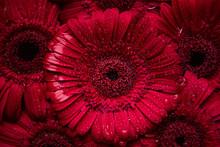 Valentine Red Gerbera