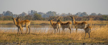 Group Of Red Lechwe Antelopes ...