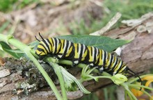 Caterpillar On Plant