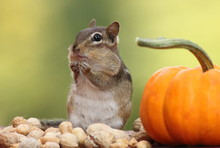 Close-Up Of Chipmunk By Pumpkin