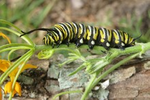 Caterpillar On Flowers