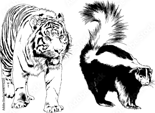 Fototapety, obrazy: vector drawings sketches different predator , tigers lions cheetahs and leopards are drawn in ink by hand , objects with no background