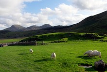 Beautiful Shot Of Grassy Fields And Mountains With Sheep And Lambs Walking Around In Snowdonia
