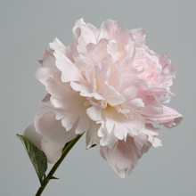 Tender Pink Peony Flower Isolated On Gray Background.