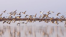 A Flock Of Wild Geese Taking O...